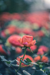 Stand Up, Even if You Stand Out (JeffMoreau) Tags: helios 442 58mm russian vintage rose longwood gardens chester county bokeh bokehlicious pastel pale sony a7ii