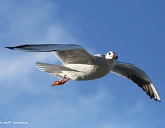 Seagull - Piran January 2017 03 (reineckefoto) Tags: seagulls piran sea blue sky bird