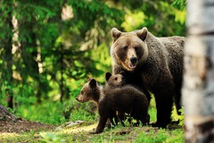 662947.jpg (Vallesty) Tags: bychipvnimageuploader brown bear family cub finland animal baby mother care environment conservation protection taiga forest russian protective guard woods trees background wild nature evening wildlife bearwithcubs big mammal predator young female fauna danger ursus arctos nordic sunny summer summertime estonia