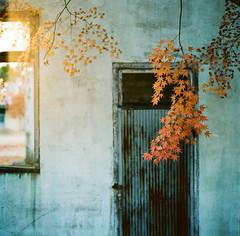 And a door (childishToy*) Tags: autumn maple door rustic yangpyeong hasselblad hasselblad503cx kodak portra400 film photography