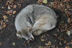 #6 - Cozy (OLJOAT) Tags: wolf dog cute fluffy sleeping curl curled warm atumn dirty soft