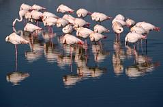 Ne pas déranger (Marc ALMECIJA) Tags: flamant rose flamingo pink reflet reflections eau water camargue sony rx10 wildlife