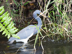 Tricolored Heron (larryyorknh) Tags: birds floridakeys