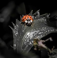 Lighted Lady. (Omygodtom) Tags: existinglight exotic elitebugs outdoors ladybug bug tamron90mm tamron texture digital star diamond scene selectivefocus setting senery science america weuy world frozen fun d7100 wild wildlife