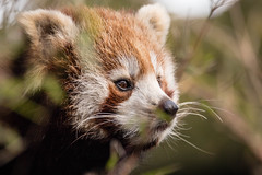 Red Panda (SKAC32) Tags: edinburghzoo scotland rzss femaleredpanda sigma150600