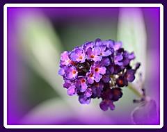 sommerflieder (silkebahr) Tags: sommer natur blumen blüten sommerflieder zierstrauch