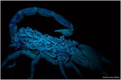 Parenthood (Madmyst619) Tags: light black glow uv scorpion ultraviolet hatchlings