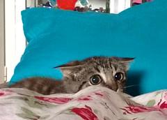 Teufelchen ~ little devil (maramillo) Tags: eyes kitty hidden otr storybook gatto ktzchen yourock tcf unanimous fotocompetition fotocompetitionbronze ispywinner ispycaughtintheactwinner maramillo