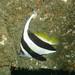 Longfin bannerfish - Heniochus acuminatus