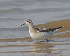 Red-necked Phalarope (Keith Carlson) Tags: shorebirds redneckedphalarope phalaropusfulicarius phalaropes