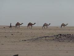 20150526_082151 (Oak KWT) Tags: animal desert camel kuwait