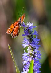 20150903-_74P6325.jpg (Lake Worth) Tags: bird nature birds animal animals canon butterfly wings florida outdoor wildlife feathers butterflies wetlands everglades waterbirds southflorida 2xextender sigma120300f28dgoshsmsports