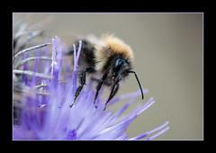 Bombus Humilis - Brown-banded carder bee (kemal atli) Tags: macro nature closeup nikon humilis d800 atli bombus kemal