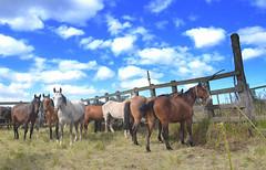 No potreiro (Eduardo Amorim) Tags: brazil horses horse southamerica brasil criollo caballo cheval caballos cavalos pelotas pferde cavalli cavallo cavalo pferd riograndedosul pampa hest hevonen campanha brsil chevaux  amricadosul hst  amriquedusud   sudamrica suramrica amricadelsur  sdamerika crioulo caballoscriollos criollos   costadoce americadelsud  crioulos cavalocrioulo americameridionale caballocriollo eduardoamorim cavaloscrioulos