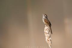 Showy! (Khurram Khan...) Tags: ilovenature wildlife sparrow songbirds wildlifephotography ilovewildlife iamnikon khurramk khurramkhan