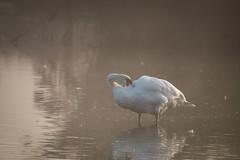 Hckerschwan bei der Gefiederpflege / Mute swan (florianpluecker) Tags: fog swan nebel schwan mute mnster rieselfelder