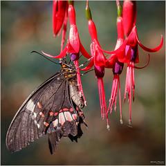 Parides iphidamas (Christian Papagni) Tags: macro canon butterfly eos is italia mark it ii 7d usm lombardia farfalla oasi f28l ef100mm parides santalessioconvialone iphidamas