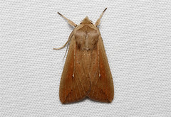 Mythimnia unipuncta (Armyworm Moth) Hodges # 10438 (Nick Dean1) Tags: brown macro animal canon insect washington outdoor moth tan insects noctuidae noctuinae washingtonstate arthropods animalia arthropoda everett arthropod hexapod insecta washingtonusa hexapods hexapoda armyworm 10438 noctuoidea armywormmoth unipuncta noctuoidae canon7d noctuiidae southeverett hodges10438 mythimniaunipuncta