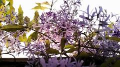 Flower  3 (jlau_lau) Tags: flowers blue sky plant flower fence flora day purple violet