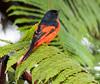 Minivet (Dato' Professor Dr. Jamaludin Mohaiadin) Tags: birds nikon dr hills malaysia fraser prof melayu dato 400mm burung jamaludin mohaiadin d800e
