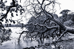 Fallen Tree (s.gregory) Tags: tree water scotland blackwhite loch lochlomand