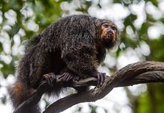 Saki à face dorée (guiraud_serge) Tags: brazil brasil monkey saki brésil singe amazonie sergeguiraud jabiruprod sakiàfacedorée singedunouveaumonde