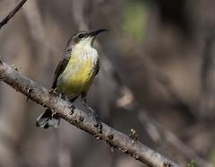 Violet-backed sunbird (Lluniau Clog) Tags: kenya greatriftvalley lakebaringo westernvioletbackedsunbird anthrepteslonguemarei violetbackedsunbird