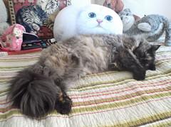 265 (en-ri) Tags: cat bed miao letto cleopatra gatta afsaneh fujilm cuscini