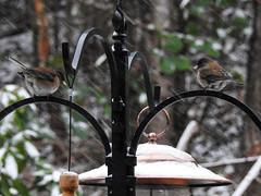 Snowbirds-3956