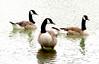 The Canada goose (Branta canadensis) (Bernard Spragg) Tags: canadiangoose lumixfz1000 brantacanadensis