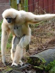 South Lakes Zoo - gibbon (3)