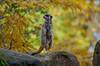 Erdmännchen (Lypsilondia) Tags: zoo magdeburg erdmännchen herbst pentax pentaxk30