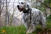 Harem del pozzale (Istinto del Lupo) Tags: setter setteringlese englishsetter allevamento cani dog pet animali caccia animalidomestici