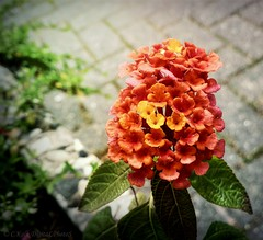 yellow.orange.red (C.Kalk DigitaLPhotoS) Tags: blume flower blüte blossom flora plant pflanze closeup gelb yellow orange rot red grün green outdoor ckalk