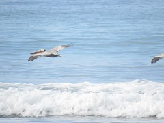 047: Brown Pelican, Pelecanus occidentalis (aking1) Tags: birds brownpelican pelecanusoccidentalis sandiego california unitedstates