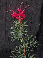 Grevillea wilsonii, Yarloop, south of Waroona, WA, 18/09/16 (Russell Cumming) Tags: plant grevillea grevilleawilsonii proteaceae yarloop waroona mandurah westernaustralia