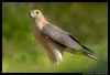 Beauty of The Nature (asifsherazi) Tags: shikra lahore pakistan asifsherazi