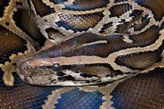 Burmese Python (Python bivittatus) (Ian Deery) Tags: burmese python burm bivittatus invasive florida south everglades snake herp herping ian deery sony a55 1855