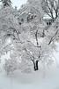 Japanese Maple after freezing rain (f8shutterbug) Tags: idb pentax5014 tree japanesemaple freezingrain winter branches pentaxlife
