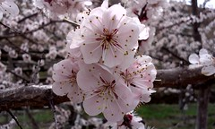 Bahar kayısı çiçeği (mehmetcok1) Tags: çiçek ağaç minyatür makro meram kayısı pembe beyaz bahar bahçe