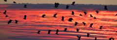 Lapwing (CliveDodd) Tags: greylake vanellusvanellus peewit lapwing