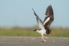 Down the Runway (PeterBrannon) Tags: bird florida haematopus nature northbeach shorebird wildlife wings americanoystercatcher ocean oystercatcher stretching haematopuspalliatus