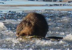 Muskrat/ - Rat-Musque (anng48) Tags: muskrat ratmusque parcdesrapides villelasalle montreal winter hiver quebec qc canada