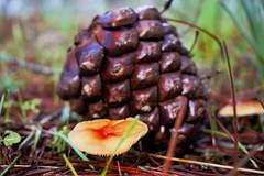 Fungo (Antonio live) Tags: funghi bosco sottobosco pigna autunno inverno