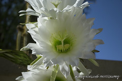 White Cactus Flower (Barry DL Roeland) Tags: whitecactusfloweringarden insmalltowncalledoudtshoorn southafrica garden blooming blue sky yellow macro bee sting seeds catctus barry roeland southern klein karoo little photography 2017 new year shutterstock stock image erotic nice closeup close