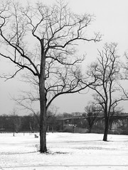 Trees (Dendroica cerulea) Tags: tree trees branches snow sky landscape winter blackandwhite bw monochrome donaldsonpark highlandpark middlesexcounty nj newjersey