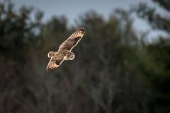 Short Eared Owl (Vic Zigmont) Tags: shortearedowls birdinflight raptor lowlight highiso