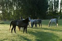 _le00356 (lotharlenz) Tags: horse pferd lotharlenz babolna kalender poster titel herde shagyaaraber
