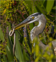 Great Blue ( W/Catch ) (billkominsky ) Tags: naturethroughthelens