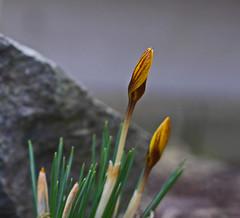 Spring is coming (heinrich_511 on/off) Tags: crocus garden sun color rhythm spring signofspring light winter